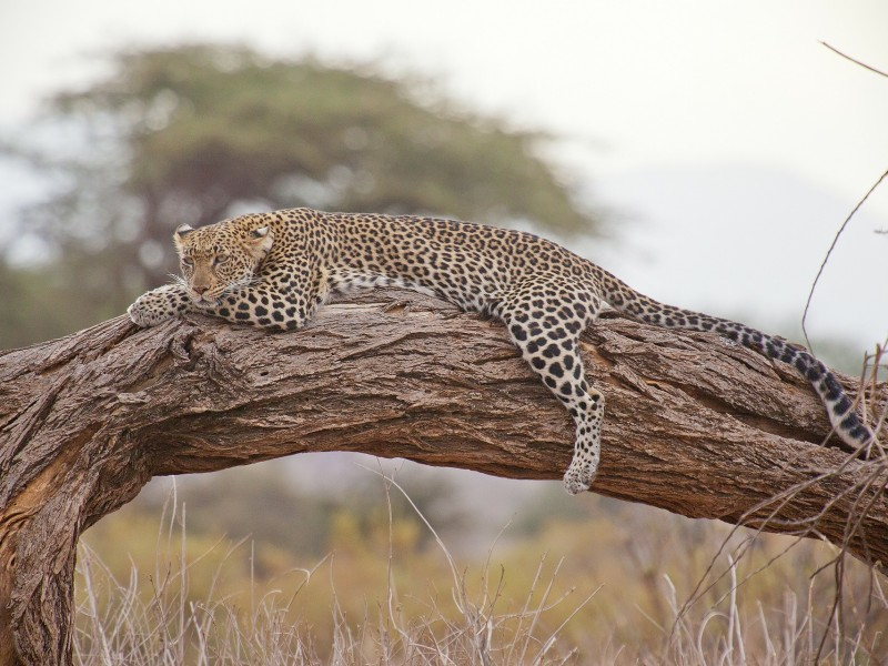 leopard-laying-in-tree