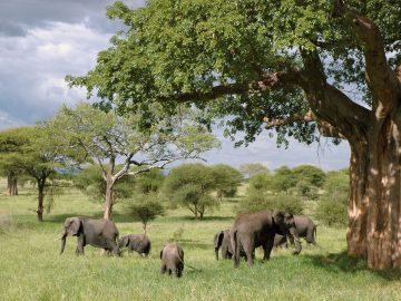 tanzania-herd-of-elephants
