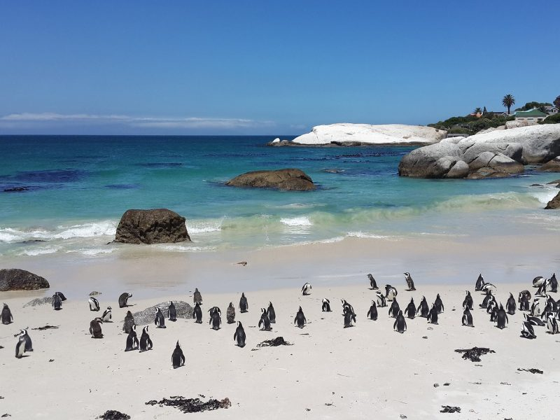cape-town-penguins
