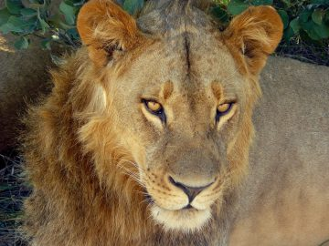 chobe-lion-closeup