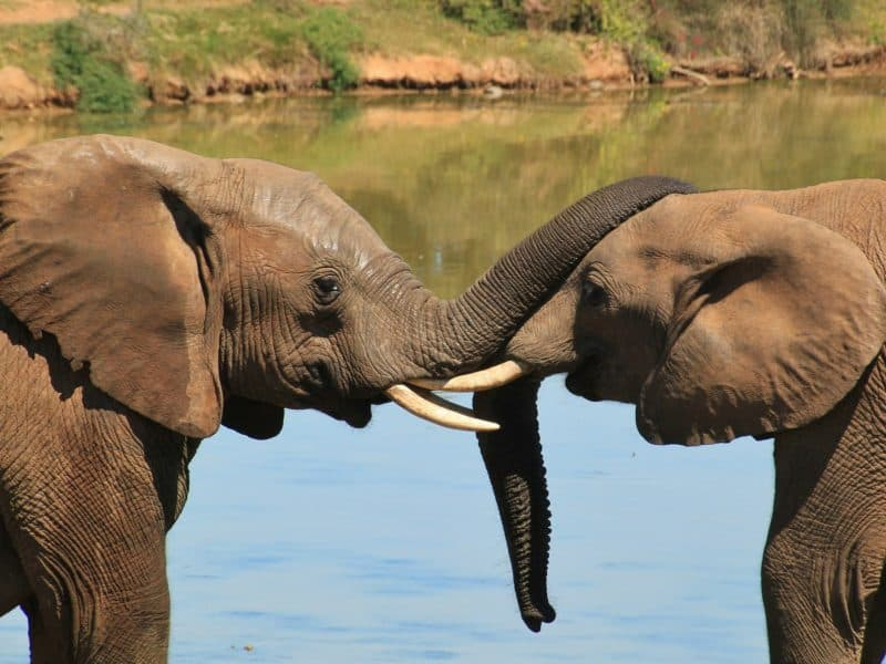 zambia-elephants-in-water