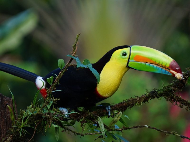 central-american-toucan