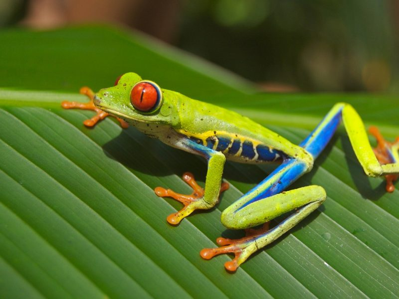 central-american-tree-frog